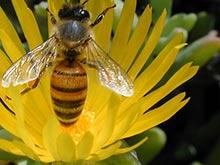 Cultivos transgénicos y el colapso de la apicultura chilena