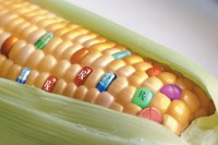 maiz transgenico 2