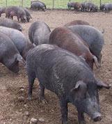 Mud, en inglés es lodo; Cochez suena parecido a cochino, es decir: cerdo, y Corina no significa nada