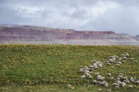 El ganado pasta cerca de la mina. Los campesinos aseguran que beben agua contaminada por los productos tóxicos que genera.