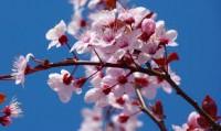 flores cerezos