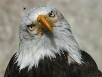 Aguila no caza mosca1