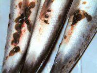 El piojo del salmón